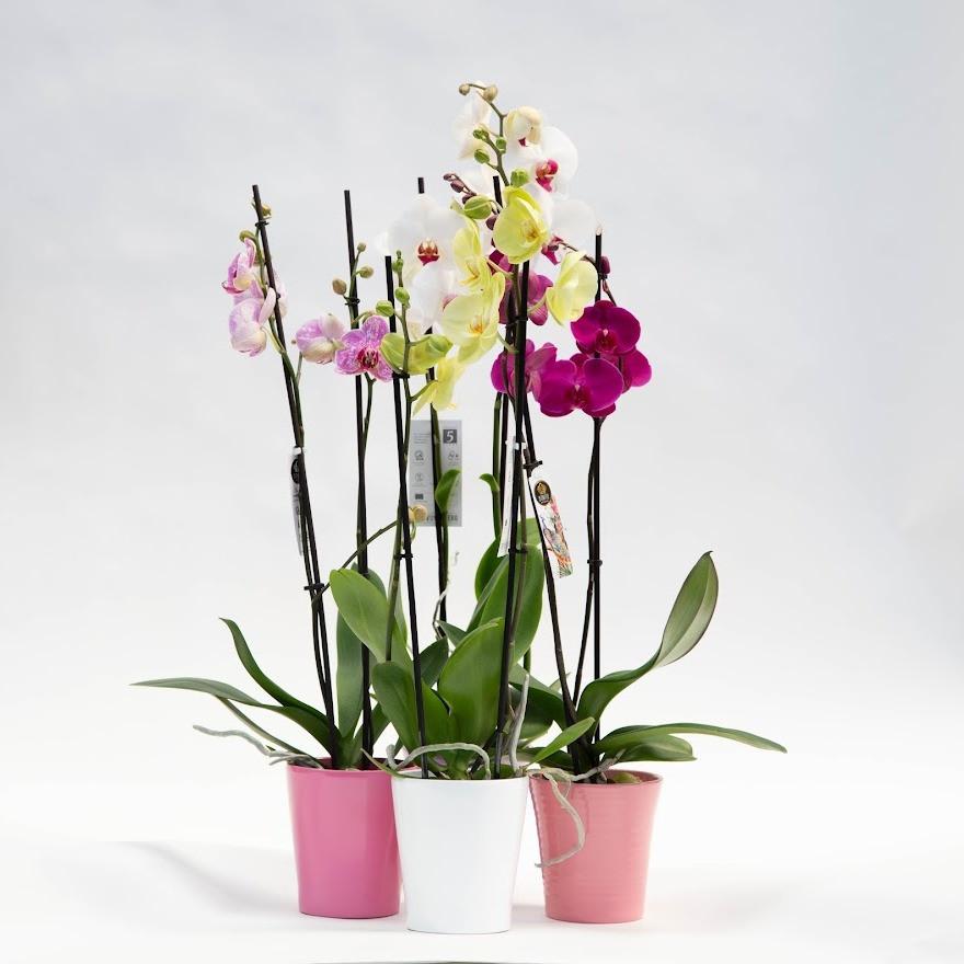 Črepníková orchidea mix farieb